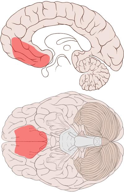 ventromedial_prefrontal_cortex